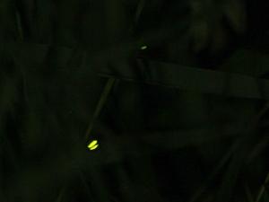 Lamprohiza splendidula Glühwürmchen Männchen