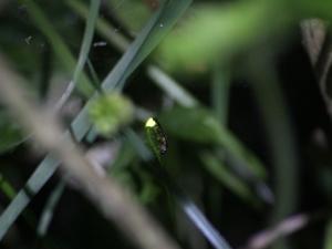 Lamprohiza splendidula Glühwürmchen