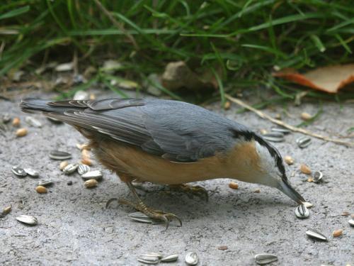 Kleiber (Sitta europaea), Eurasian Nuthatch