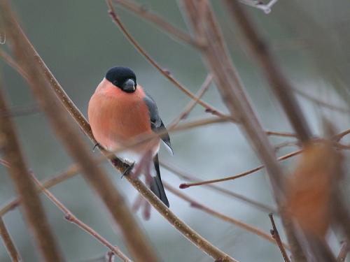 Gimpel/Dompfaff/Blutfink (Pyrrhula pyrrhula)