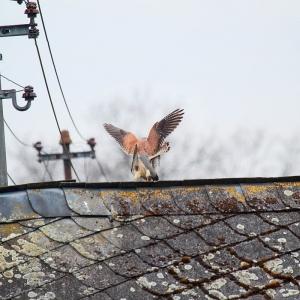 Turmfalke - Falco tinnunculus